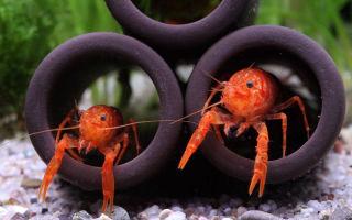 Карликовый рак – оранжевый мексиканец! – домашняя аквариумистика