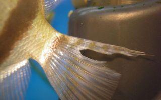Лечение плавниковой гнили у рыбок: фото-видео обзор – домашняя аквариумистика