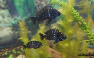 Трофеус звездчатый – домашняя аквариумистика