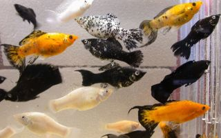 О несложном содержании рыбки моллинезии для новичков и не только – домашняя аквариумистика