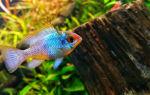 Апистограмма рамирези: содержание, совместимость, разведение, фото-видео обзор – домашняя аквариумистика