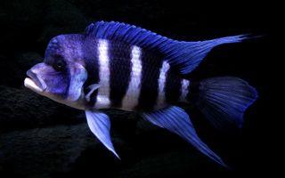 Цифротиляпия зебра – домашняя аквариумистика