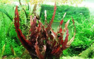 Барклайя длиннолистная красная или барклая лонгифолия: содержание, фото-видео обзор – домашняя аквариумистика