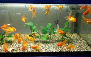 Золотые рыбки интересное!!! – домашняя аквариумистика