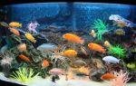 7 популярных аквариумных рыб цихлид и их содержание – домашняя аквариумистика