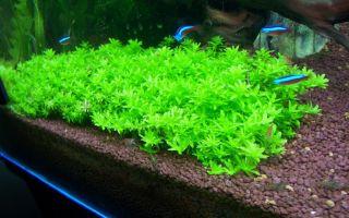 Микрантемум малоцветковый или микрантемоидес: содержание, фото-видео обзор – домашняя аквариумистика