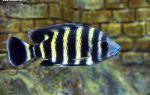 Тиляпия зебровая или буттикофера: содержание, фото-видео обзор – домашняя аквариумистика