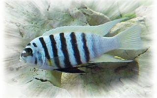 Псевдотрофеус зебра: содержание, совместимость, фото-видео обзор – домашняя аквариумистика