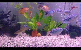 Гурами мраморный: содержание, совместимость, размножение, фото-видео обзор – домашняя аквариумистика