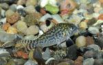 Коридорас сетчатый – домашняя аквариумистика