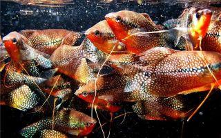 Гурами жемчужный: содержание, совместимость, разведение, фото-видео обзор – домашняя аквариумистика