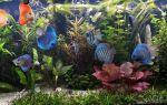 Скалярии и дискусы, кто интереснее? – домашняя аквариумистика