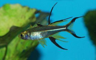 Тельматерина ладигеза  или солнечный лучик – домашняя аквариумистика