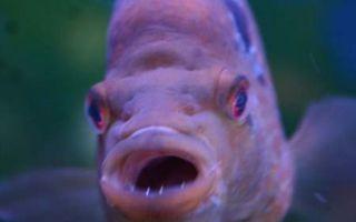 Зубы и челюсти цихлид – домашняя аквариумистика