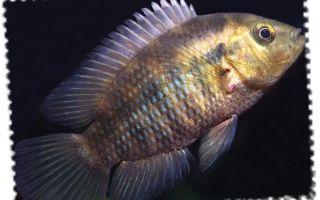Цихлазома фацетум – домашняя аквариумистика