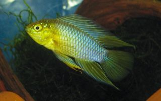 Апистограмма рейцига – домашняя аквариумистика