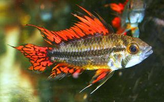 Апистограмма какаду видео обзор – домашняя аквариумистика