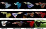 Виды и породы гуппи с фото и названия – домашняя аквариумистика