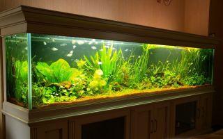 Анадорас – домашняя аквариумистика