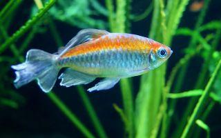 Конго рыбка – домашняя аквариумистика
