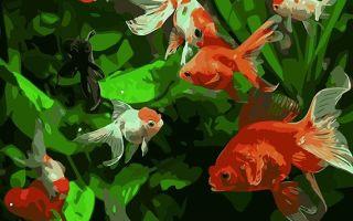 Золотые рыбки семейство и род! – домашняя аквариумистика