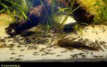 Анциструс разведение и нерест – домашняя аквариумистика