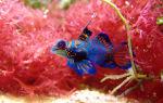 Рыбка мандаринка красивое фото – домашняя аквариумистика