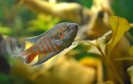 Макропод – домашняя аквариумистика