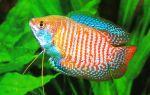 Лялиус – домашняя аквариумистика