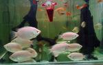 Гурами целующиеся – домашняя аквариумистика