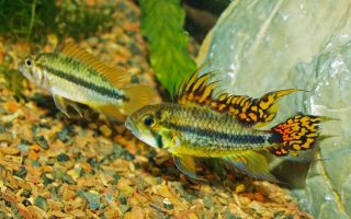 Апистограмма какаду: содержание, фото-видео обзор – домашняя аквариумистика