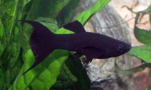 Моллинезия сфенопс – домашняя аквариумистика
