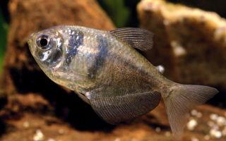 Тернеция – домашняя аквариумистика