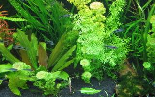 Тайэрия кривополосая – домашняя аквариумистика