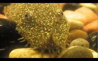 """Ихтиофтириоз """"манка"""" – сом анциструс до и после болезни – домашняя аквариумистика"""