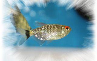 Филомена или моэнкаузия красноглазая – домашняя аквариумистика