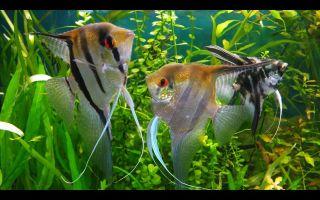 Ангелы аквариумного мира – скалярии! – домашняя аквариумистика