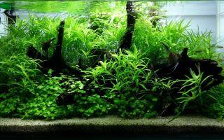 Гетерантера остролистная: содержание, фото-видео обзор – домашняя аквариумистика
