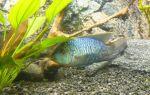 Наннакара полосатая: содержание, совместимость, уход, размножение, фото-видео обзор – домашняя аквариумистика