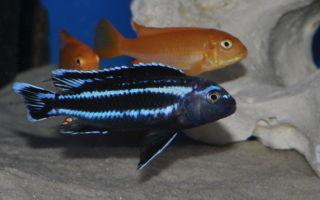 Меланохромис йохана – домашняя аквариумистика