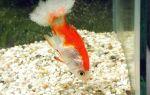 Сапролегниоз (дерматомикоз) – вата на рыбке – домашняя аквариумистика