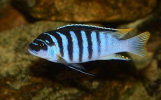 Псевдотрофеус зебра – домашняя аквариумистика