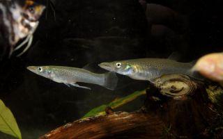 Белонесокс – домашняя аквариумистика
