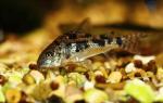 Коридорас джули сомик: содержание, разведение, фото-видео обзор – домашняя аквариумистика
