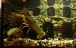 Рак в аквариуме: 9 самых распространённых аквариумных видов! – домашняя аквариумистика