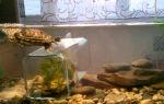 Секреты питания водных и сухопутных черепах – домашняя аквариумистика