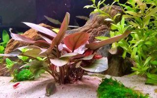 Лагенандра меебольда красная рэд: содержание, фото-видео обзор – домашняя аквариумистика