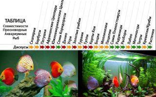 Дискус коричневый: содержание, совместимость, описание – домашняя аквариумистика