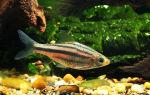 Барбус четырехлинейный: содержание, совместимость, фото-видео обзор – домашняя аквариумистика