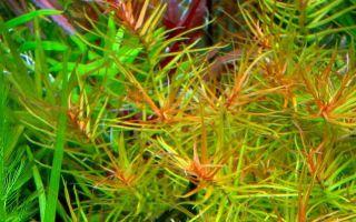 Дидиплис диандра или бутерлак двухтычинковый: содержание, фото-видео обзор – домашняя аквариумистика